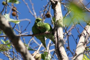 Yellow-chevroned Parakeets in LA